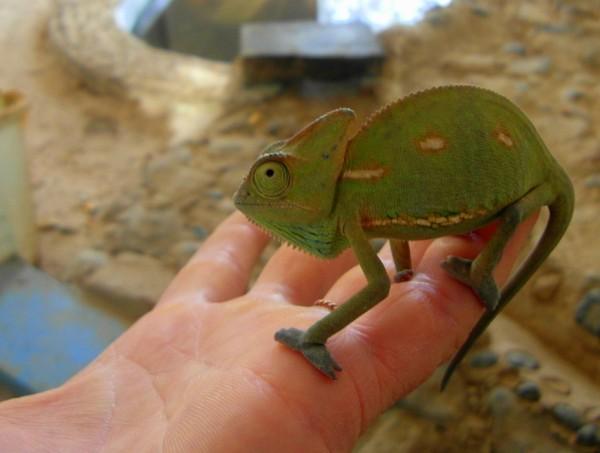 A Yemeni baby chameleon