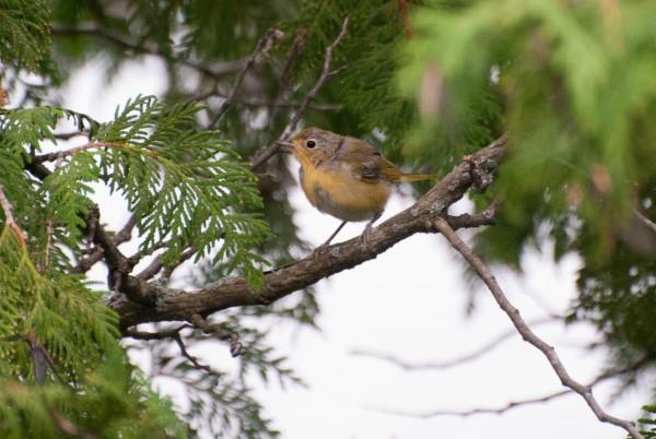 pine warbler #1