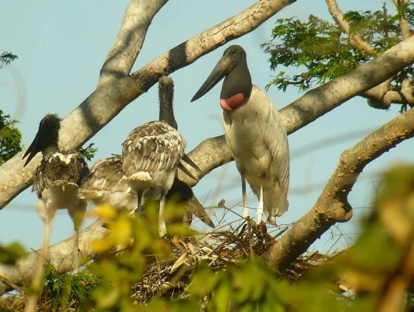 adult Jabiru on nest with 4 young! Must be a good year for swamp eels,...