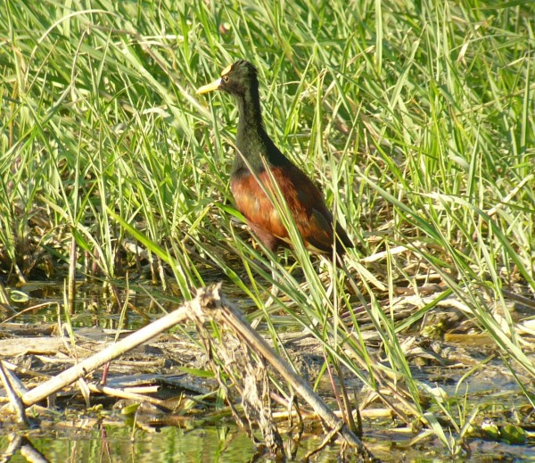 one of the hundreds of Northern Jacanas there in the marsh...