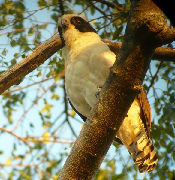 the not-so-elusive Laughing Falcon looking for an evening snack (t...