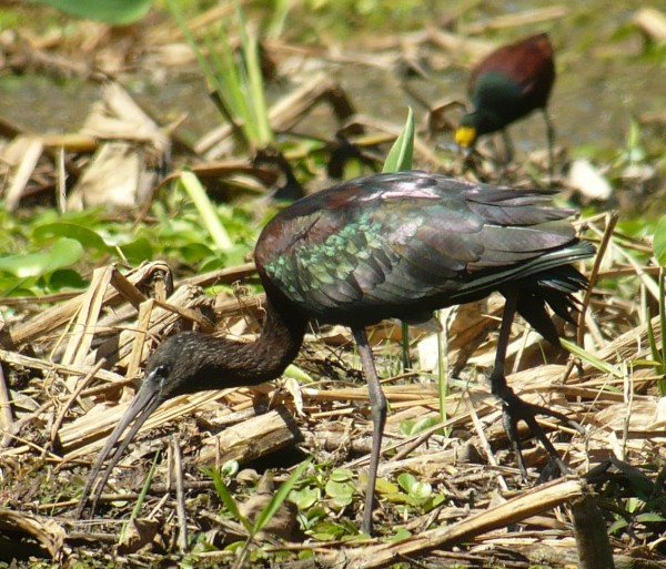 Glossy Ibis looking glossy.