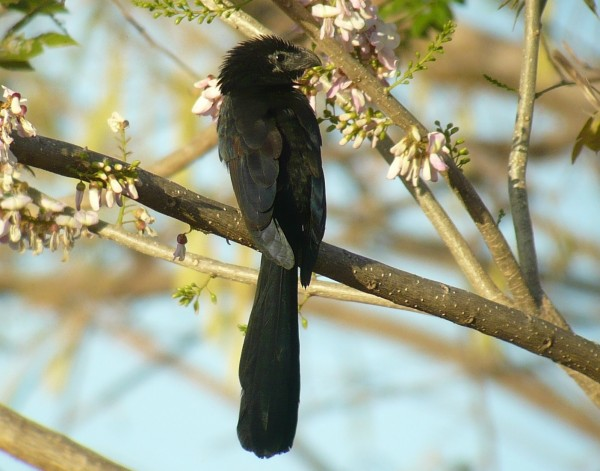 Groove-billed Ani in flowering Gliricidia tree
