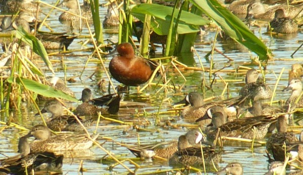 Cinnamon Teal, male (and many male and female Blue-winged Teal)