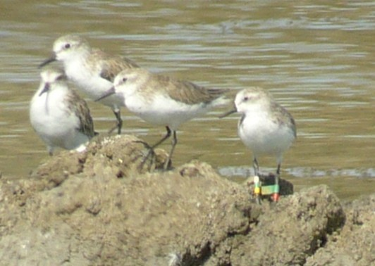 color banded Semipalmated Sandpiper