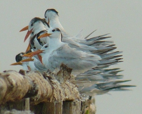 Royal Terns...are very pointy creatures