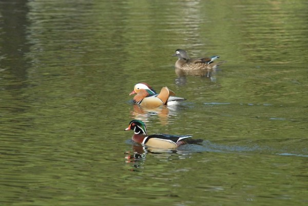 Mandarin and Wood Ducks