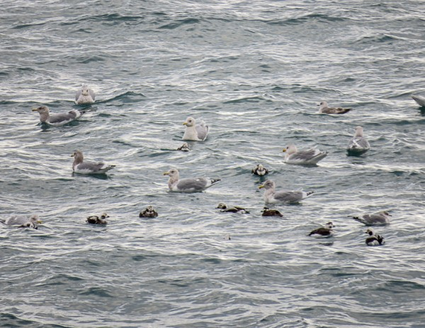 long-tailed ducks and gulls