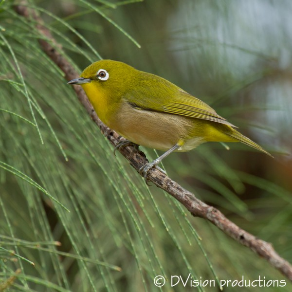 Japanese White Eye.  Really cute birds, very warbler-esque