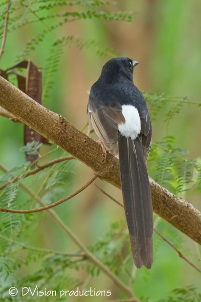 Male White-rumped Shama.  These dudes are great songsters!