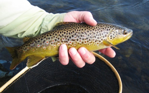 brown trout from the wild trout section, lower owens river, california...