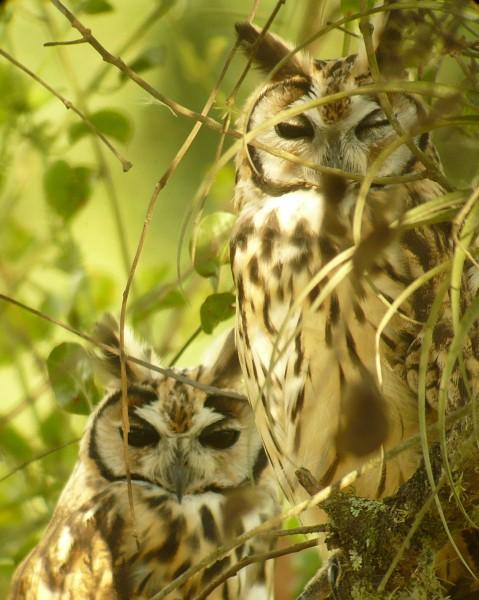 Striped Owls