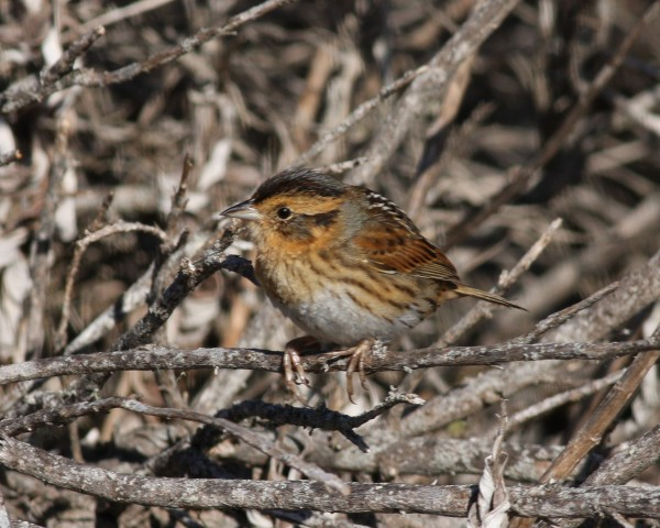Nelson's Sharp-tailed Sparrow.