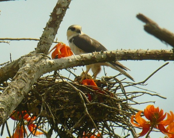 Pearl Kite with prey (some little bird) on nest
