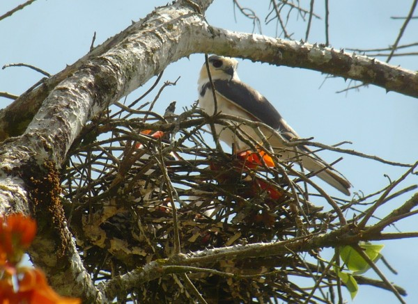 Pearl Kite on nest, the two nestlings are somewhat visible