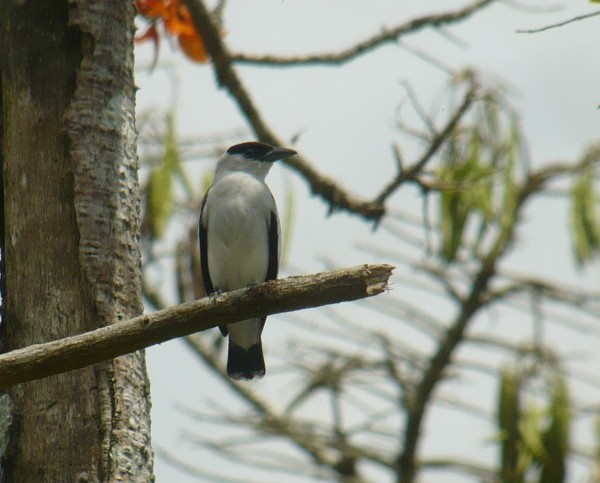 Black-crowned Tityra, male standing guard