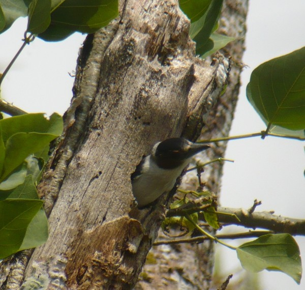 Black-crowned Tityra, female poking her head out of nest (old wood...