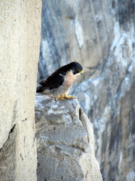 Falcon that chilled with me while I rapped over pitch 12, Tribal Rite