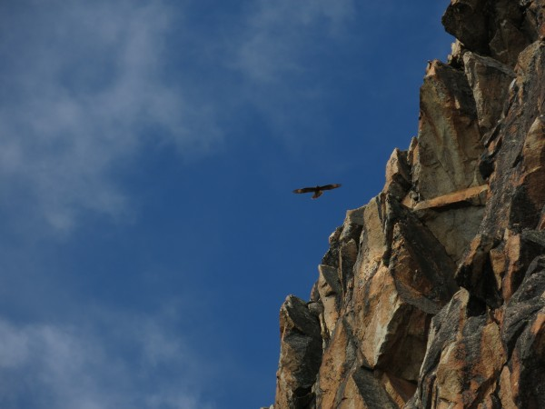 Juvenile Mountain Caracara