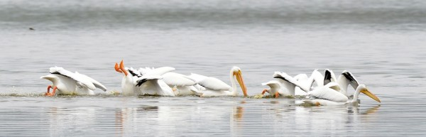 White Pelicans group feeding