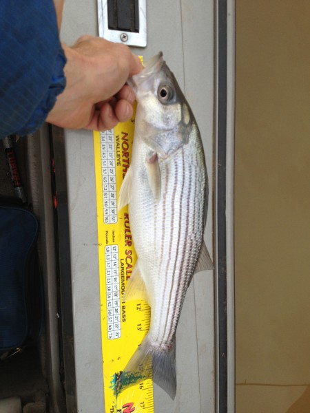 Millions of this size Striped Bass in the lake.  In the next couple mo...