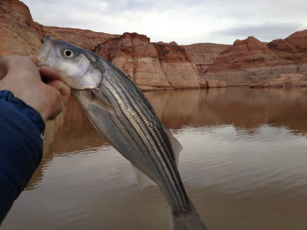 Hungry little striper.