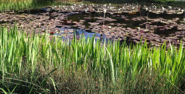 The lily pond in the beautiful garden at the Norton Simon