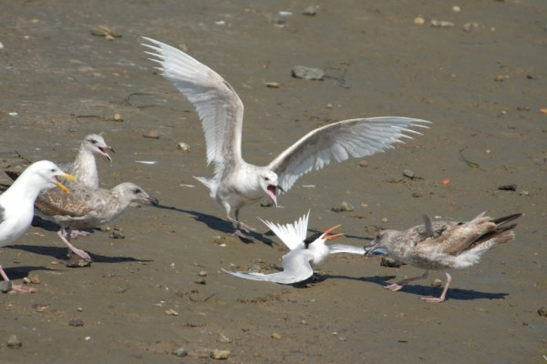 Gulls take a Tern