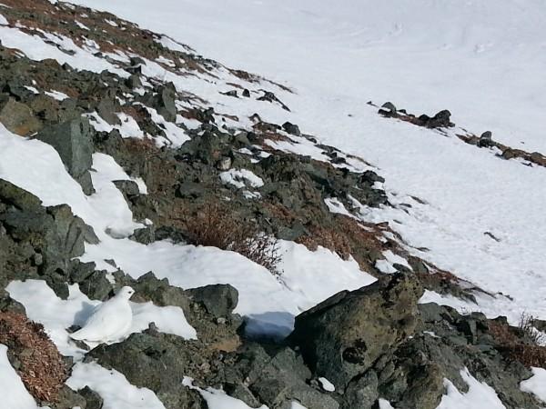White-tailed Ptarmigan, Alaska Range