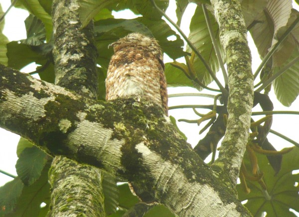 Great Potoo with chick. In snooze mode...