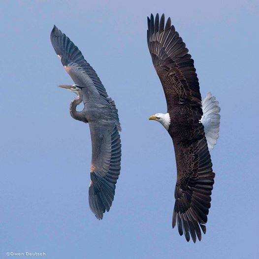 Bald Eagle chasing The Great Blue Heron <br/>