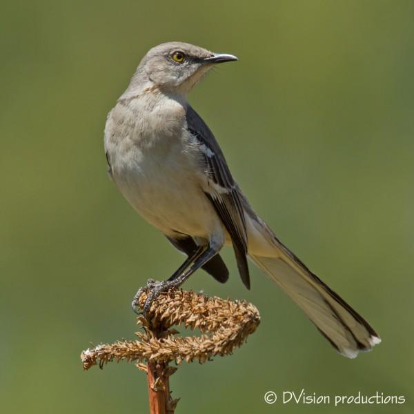 Mockingbird poser, LA arboretum