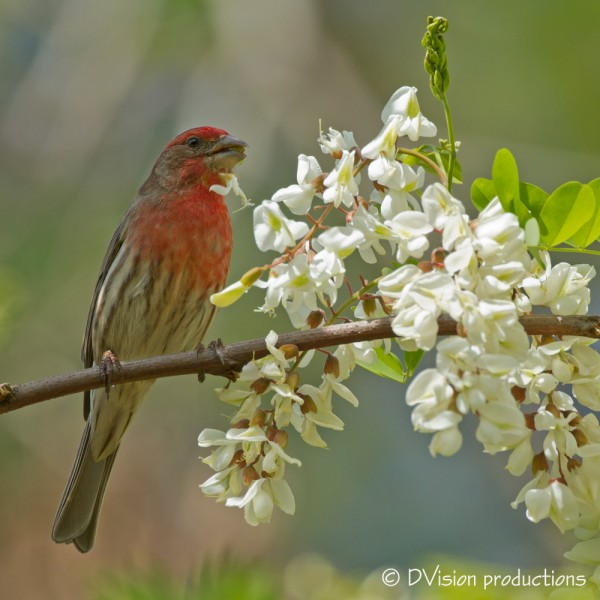 House Finch finds a flower snack