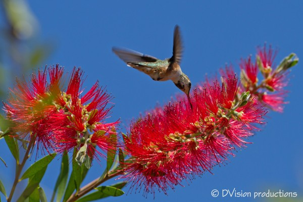 Hummer at the bottlebrush (female Allens? Rufous?)