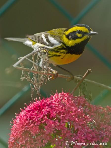 Townsend's Warbler, Palos Verdes CA