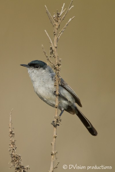 California Gnatcatcher, Palos Verdes CA