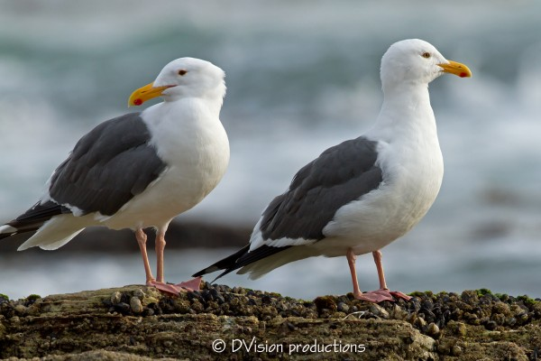 Pair O Gulls (type? I'm not a Gull guy eh), Palos Verdes, CA