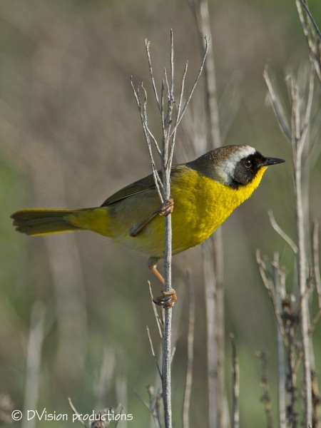 Common Yellowthroat, Palos Verdes CA