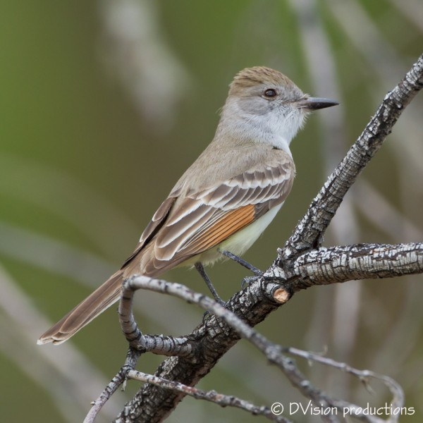 Ash-throated Flycatcher, Morongo Valley CA