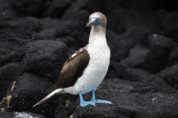 Blue-footed Booby. <br/>