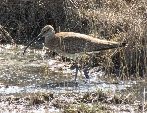 whimbrel or bristle-thighed curlew?