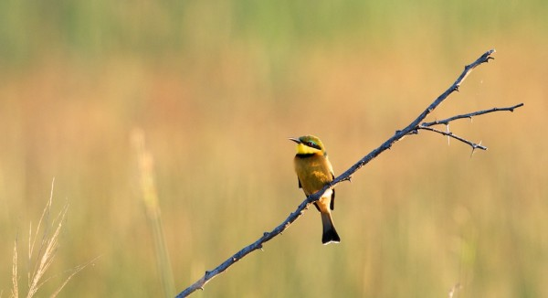 Little Bee Eater (click for larger)