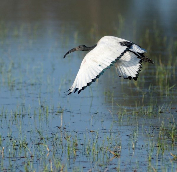 Sacred Ibis (click for larger)