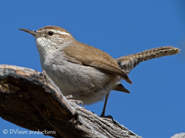 Bewick's Wren, Morongo Valley CA