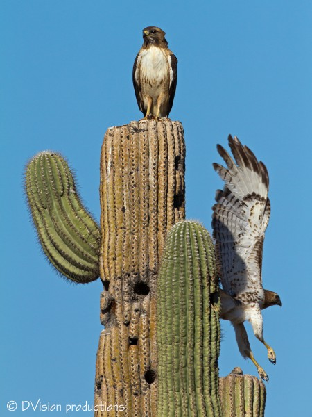 Pair of Redtails in an old Saguaro, Phoenix.  The boy has some breakfa...