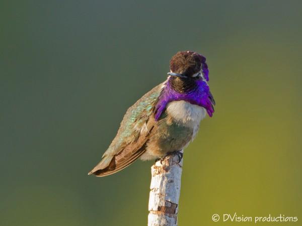 Costa's Hummingbird, Phoenix
