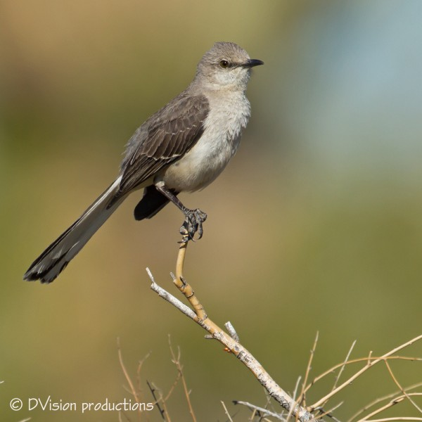 Mockingbird poses between imitating car alarms ;-)