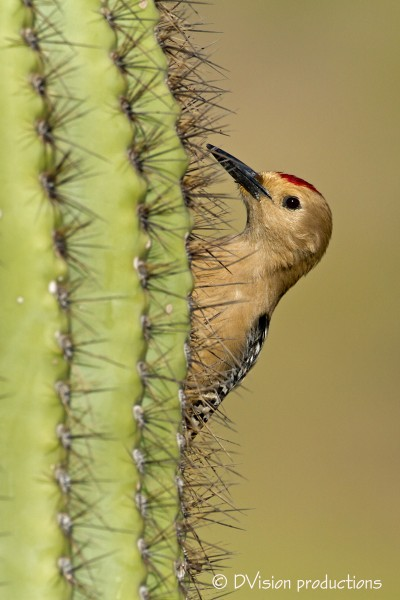 Gila Woodpecker, Phoenix
