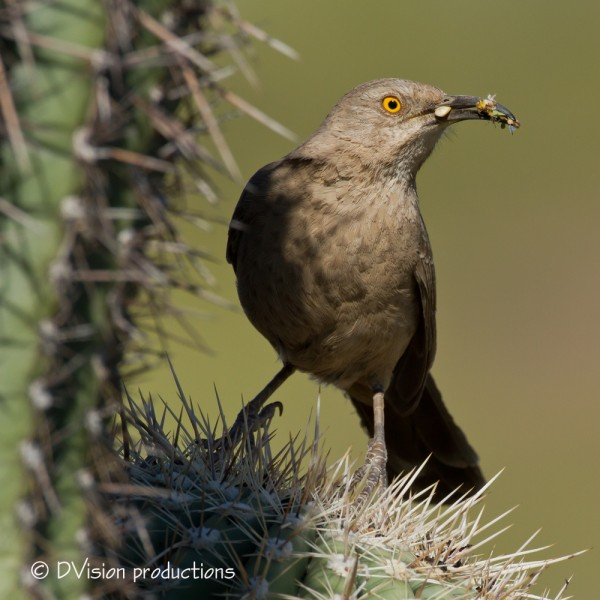 Curve-billed Thrasher, Phoenix