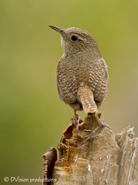 House Wren, Madera Canyon